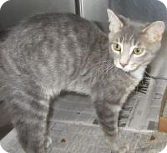 Domestic Shorthair Cat for adoption in East Brunswick, New Jersey - Morty