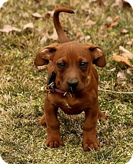 Dachshund Mix Puppy for adoption in Allentown, Pennsylvania - Maddy