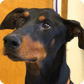 Doberman Pinscher Mix Dog for adoption in Sprakers, New York - Joey