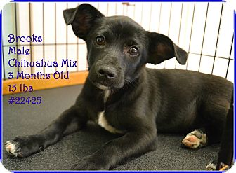 Chihuahua Mix Puppy for adoption in Beaumont, Texas - Brooks