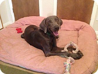 Weimaraner Dog for adoption in Austin, Texas - Sam