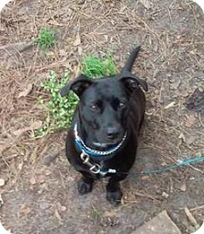 American Staffordshire Terrier/Staffordshire Bull Terrier Mix Dog for adoption in Shallotte, North Carolina - Raven