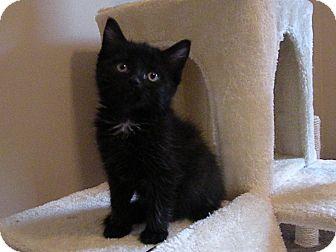 Domestic Shorthair Kitten for adoption in Turnersville, New Jersey - Sweetie Pie