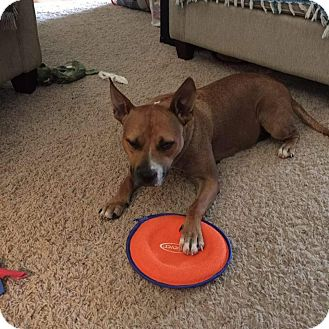 Pit Bull Terrier Mix Dog for adoption in Lexington, North Carolina - Claire