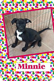 Pit Bull Terrier/Labrador Retriever Mix Puppy for adoption in Scottsdale, Arizona - Minnie