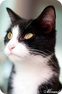 Domestic Shorthair Cat for adoption in Manahawkin, New Jersey - Miranda