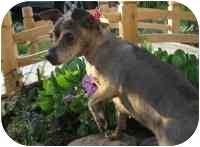 Dachshund/Chihuahua Mix Dog for adoption in Warren, New Jersey - Chunkie