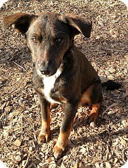 Australian Shepherd Mix Dog for adoption in Baltimore, Maryland - Chesney