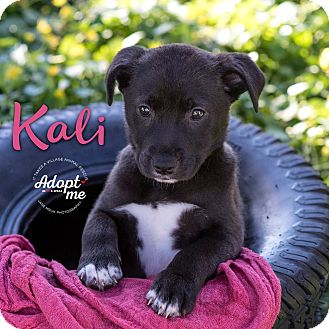 Beagle/Terrier (Unknown Type, Medium) Mix Puppy for adoption in Middletown, Delaware - Kali