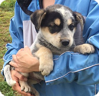 Australian Cattle Dog/Shepherd (Unknown Type) Mix Puppy for adoption in Twinsburg, Ohio - Renegade (6 lb) Video