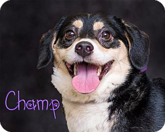Corgi Mix Dog for adoption in Somerset, Pennsylvania - Champ
