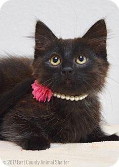 Domestic Longhair Kitten for adoption in Dublin, California - Soba