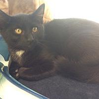 Domestic Shorthair Kitten for adoption in Moody, Alabama - B.C.