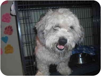 Shih Tzu/Poodle (Miniature) Mix Puppy for adoption in Sherman Oaks, California - Skooter