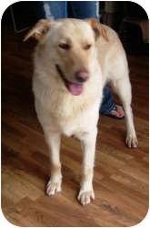 Labrador Retriever Mix Dog for adoption in Port Jefferson Station, New York - Spanky