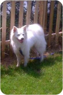 American Eskimo Dog Dog for adoption in Mt Gretna, Pennsylvania - Kaleb