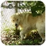 Photo 4 - Great Pyrenees/Golden Retriever Mix Dog for adoption in Nanuet, New York - Goliath