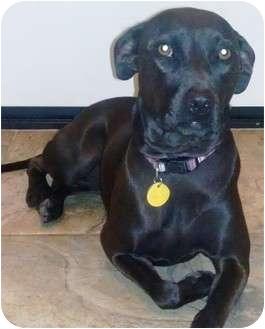 Labrador Retriever/Whippet Mix Dog for adoption in Gilbert, Arizona - SASHA