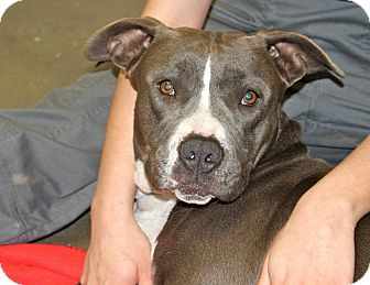 American Staffordshire Terrier Dog for adoption in Los Angeles, California - Mercy - Tripod 3 legs