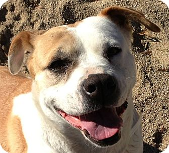 Labrador Retriever/Pit Bull Terrier Mix Dog for adoption in Seattle, Washington - Mabel - LOVABLE GIRL