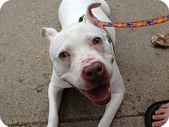 American Pit Bull Terrier Dog for adoption in Chicago, Illinois - LOLA