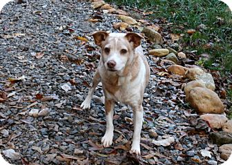 Jack Russell Terrier Mix Dog for adoption in Cleveland, Georgia - Jasper