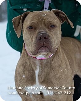Pit Bull Terrier Mix Dog for adoption in Somerset, Pennsylvania - Taylor