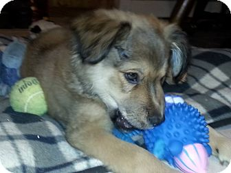 Golden Retriever/Shepherd (Unknown Type) Mix Puppy for adoption in Stafford Springs, Connecticut - Gale