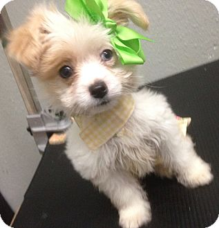 Poodle (Miniature)/Maltese Mix Puppy for adoption in South Gate, California - Rose