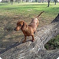 Adopt A Pet :: John Boy - McAllen, TX