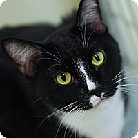 Domestic Shorthair Cat for adoption in Grayslake, Illinois - Mattie