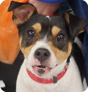 Jack Russell Terrier Dog for adoption in Toledo, Ohio - Mack