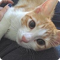 Adopt A Pet :: Kioshi - The Colony, TX
