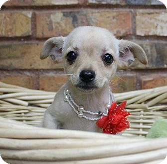 Chihuahua Mix Puppy for adoption in Benbrook, Texas - Jessie