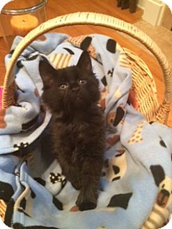 Hemingway/Polydactyl Kitten for adoption in Knoxville, Tennessee - Zeus