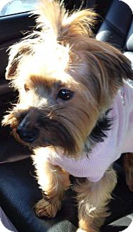 Yorkie, Yorkshire Terrier Dog for adoption in Oswego, Illinois - Trinket