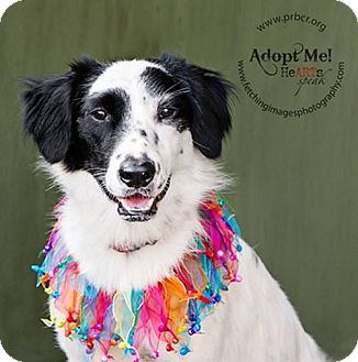 Border Collie/English Setter Mix Dog for adoption in Charleston, South Carolina - Pansy