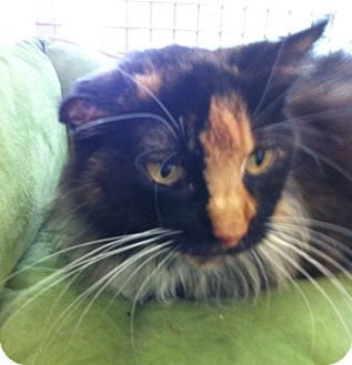 Calico Cat for adoption in Riverside, California - Patches