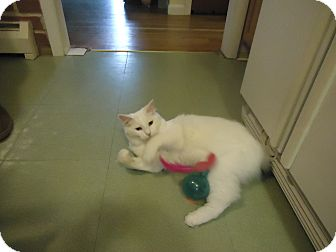 Domestic Mediumhair Cat for adoption in Dale City, Virginia - Snowball