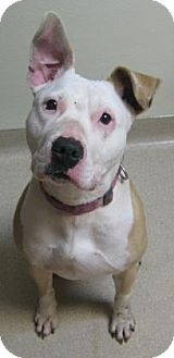 Pit Bull Terrier Mix Dog for adoption in Gary, Indiana - Lady
