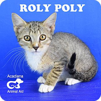 Domestic Shorthair Kitten for adoption in Carencro, Louisiana - Roly Poly
