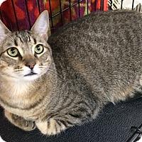 Adopt A Pet :: Stripes - North Highlands, CA