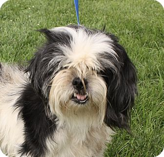 Shih Tzu Mix Dog for adoption in Jackson, Michigan - Lucy