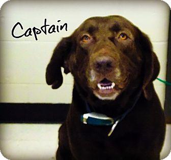 Labrador Retriever Dog for adoption in Defiance, Ohio - Captain
