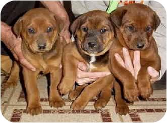 Doberman Pinscher/Corgi Mix Puppy for adoption in Marina del Rey, California - Puppies