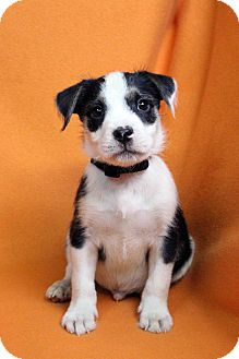 Blue Heeler Mix Puppy for adoption in Westminster, Colorado - IRWIN