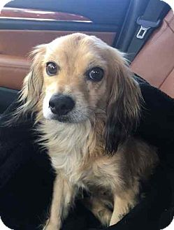 Spaniel (Unknown Type) Mix Dog for adoption in Los Angeles, California - TRUMAN