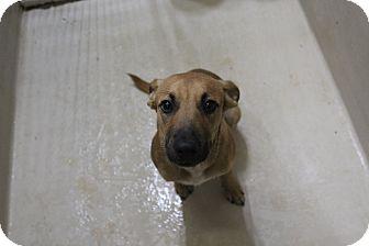 Shepherd (Unknown Type) Mix Dog for adoption in Odessa, Texas - A18 Dottie