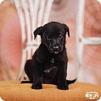 Adopt A Pet :: Bobby Flay - Portland, OR