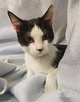 Domestic Shorthair Cat for adoption in Mt Vernon, Indiana - Swan